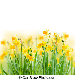 spring narcissus - bunch of bright spring yellow daffodils...