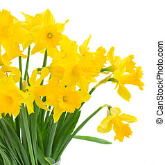 spring narcissus - bright spring yellow daffodils close up...