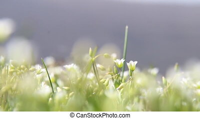 Spring nature background with White wildflowers