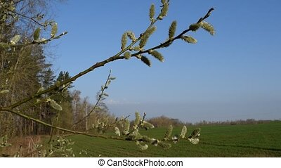 Spring nature, branch in the wind