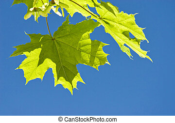 Spring Nature - Young Spring Leafs on Tree and Blue sky in ...