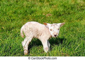Spring, new born lambs