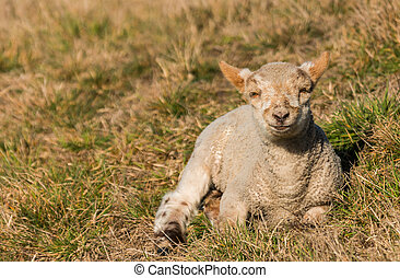 Spring New Zealand Lamb