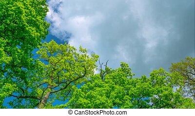 Spring oaks, time-lapse
