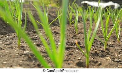 Spring onion and garlic in vegetable garden