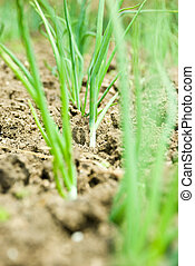 Spring onion in soil