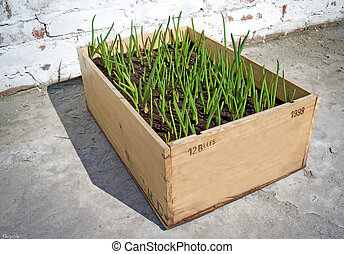 Spring Onion - Spring onion growing in the box