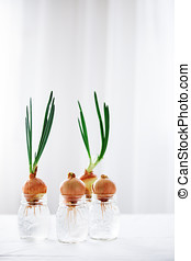 Spring onions growing in glass jars with water. Small garden at home on window sill. Spring has sprung, nature awakening concept.