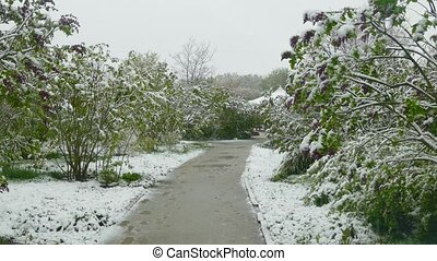 Spring park during a snowfall. - Flowering green shrubs bent...