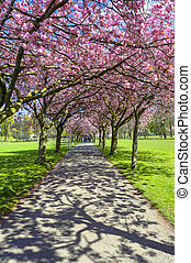 Spring path in the park with cherry blossom and pink flowers.