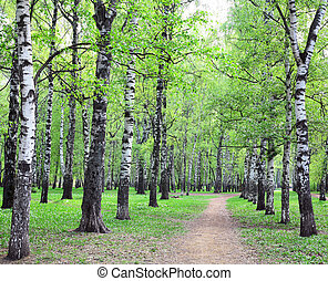 Spring pathway in the evening sunny birch grove