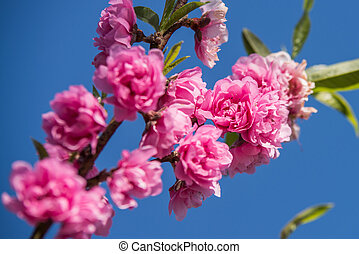Spring peach blossom against the sky background