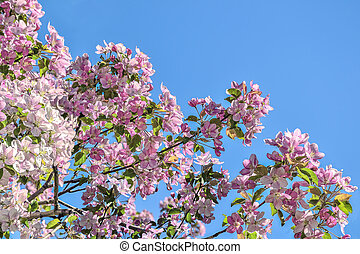 Spring pink blossoming apple tree branches on blue sky background