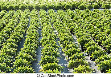 spring plantation