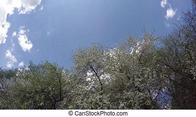spring plum tree blossoms and sky