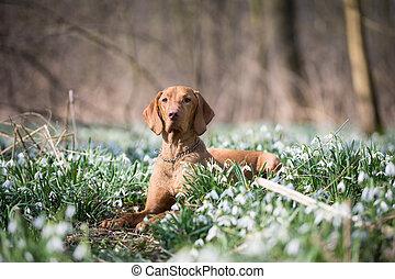 Spring portrait of hungarian vizsla dog in snowdrops field