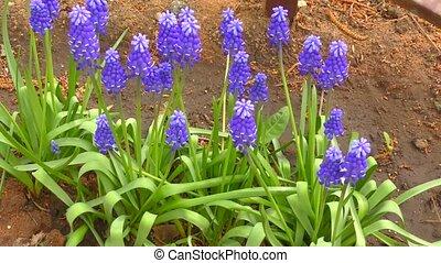 Primula purple color Muscari - Spring Primula purple color...