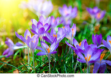 Spring purple crocus flowers with sunlight