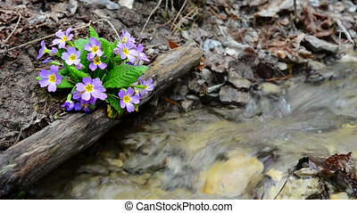 Spring purple flower (Primula vulgaris) in the forest near...