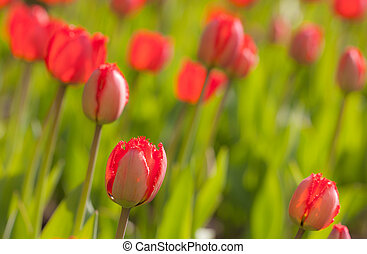 spring red tulips closeup