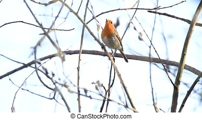 spring robin sings on a thin branch , wild nature