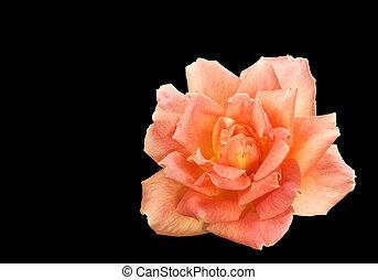 spring rose flower isolated on black background