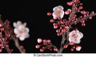 spring sakura pink flower blossoming branch, black...
