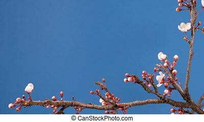 spring sakura pink flower blossoming branch, time lapse