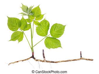 Spring seedling sprout garden blackberry