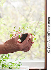 Spring seedlings in a peat pot in the hands of an elderly woman