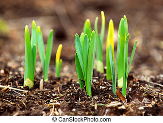Spring shoots - Shoots of spring flowers daffodils in early ...