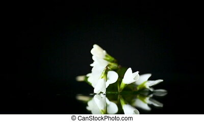 spring small white flowers isolated on black background