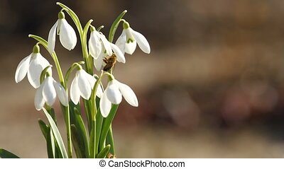 Spring snowdrop flowers and fly bee