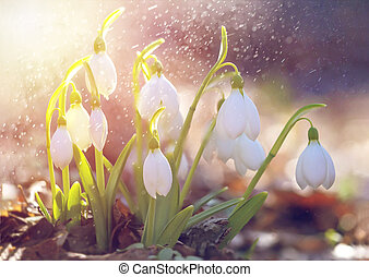 Spring snowdrop flowers blooming in sunny day. Shallow depth of field