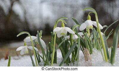 spring snowdrop snowflake flowers blooms between snow in...