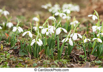 Spring snowdrops in a park