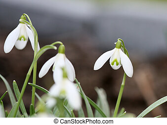 Spring snowdrops - Closeup of spring white snowdrops with...