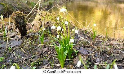 Spring snowflake flowers  at river bed. Dewy tufts of spring snowflakes  (Leucojum vernum) in moist clay covered by rotten leaves. Close up to beautiful rich flowers blossoms and lush green leaves.