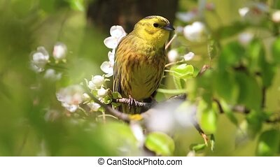 spring song of a yellow beautiful bird
