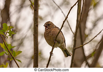 Spring Song Of Chaffinch