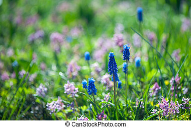 Spring summer background, blooming blue hyacinth on a green glade in the sun.