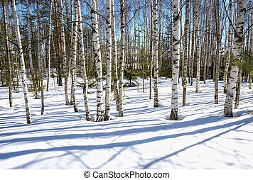 Birch trunks on the background of white snow and blue sky.