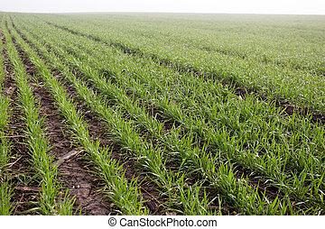 spring., tôt, champ, blé, pousses, premier
