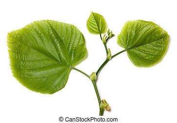 Spring tilia leafs on white background