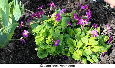 purple primrose - Spring tillage for purple primrose flowers...