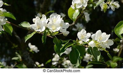 spring time apple tree blossoms