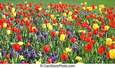 Spring Time Bloom. - Tulips in bloom in the early Spring.