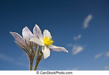 Spring Time Crocus Flower