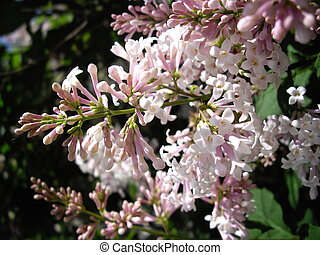 spring time - lilac flowers in the