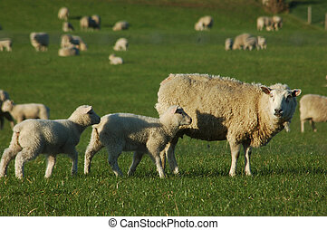 Spring time photo of a mob of sheep on a farm in Canterbury, South Island, New Zealand